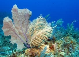 Numerous octocorals adorn a Caribbean coral reef